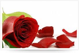 Mawar Merah Penakluk Hati